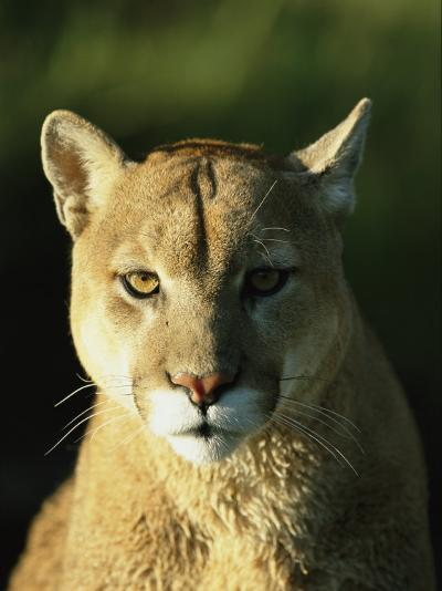 A Portrait of a Mountain Lion-Norbert Rosing-Photographic Print