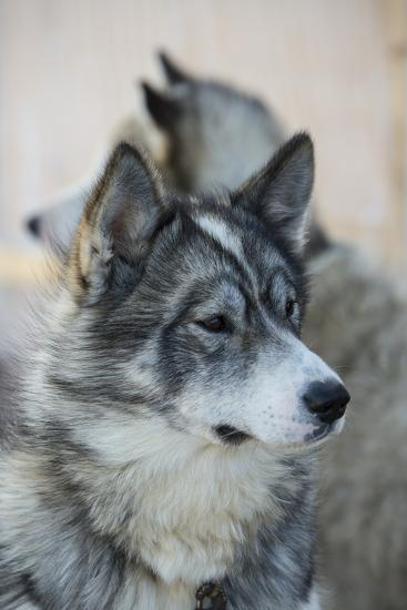 A Portrait of a Pair of Huskies-Michael Melford-Photographic Print