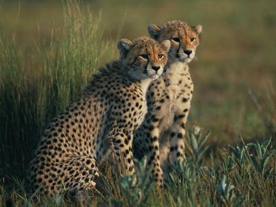 A Portrait of a Pair of Juvenile African Cheetahs-Chris Johns-Photographic Print