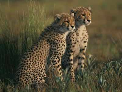 https://imgc.artprintimages.com/img/print/a-portrait-of-a-pair-of-young-african-cheetahs_u-l-p3l1em0.jpg?p=0