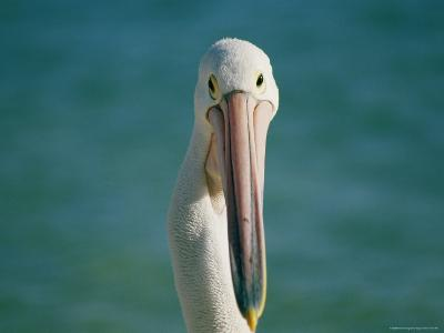 A Portrait of a Pelican at Monkey Mia on Shark Bay--Photographic Print