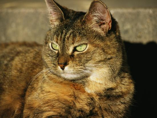 A Portrait of a Pet Tabby Cat-Medford Taylor-Photographic Print