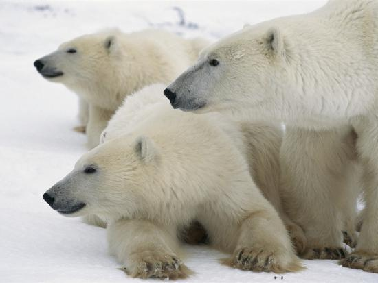 A Portrait of a Polar Bear Mother and Her Cubs, Ursus Maritimus-Norbert Rosing-Photographic Print