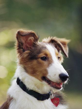 https://imgc.artprintimages.com/img/print/a-portrait-of-a-shetland-sheepdog-also-known-as-a-sheltie_u-l-p4f9o30.jpg?p=0