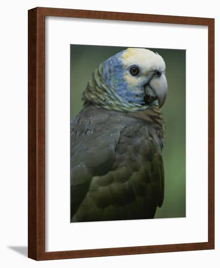 A Portrait of a St. Vincent Parrot (Amazon Guildindii)-Michael Melford-Framed Photographic Print