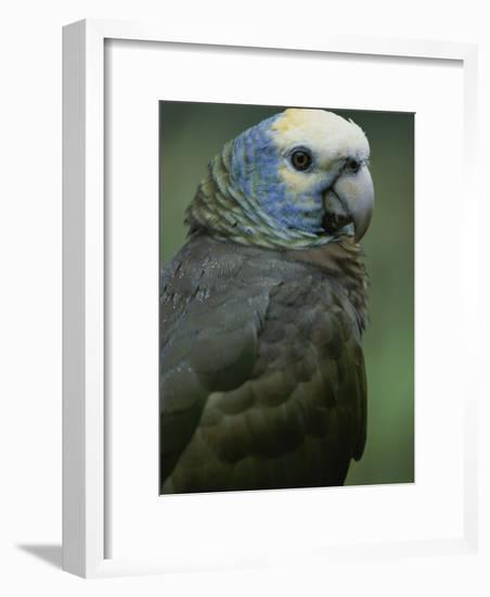 A Portrait of a St. Vincent Parrot (Amazon Guildindii)-Michael Melford-Framed Photographic Print