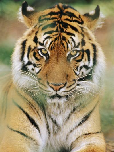 A Portrait of a Sumatran Tiger-Norbert Rosing-Photographic Print