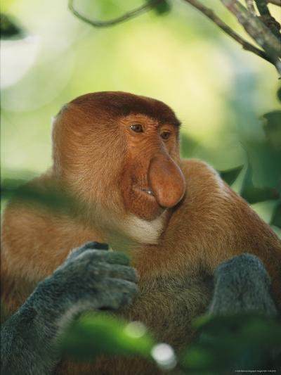 A Portrait of an Adult Male Proboscis Monkey-Tim Laman-Photographic Print