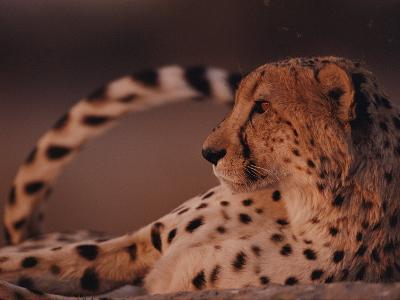 A Portrait of an African Cheetah Resting-Chris Johns-Photographic Print