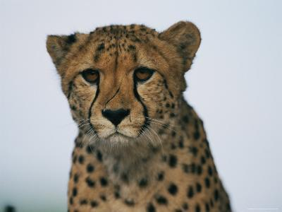 A Portrait of an African Cheetah-Chris Johns-Photographic Print