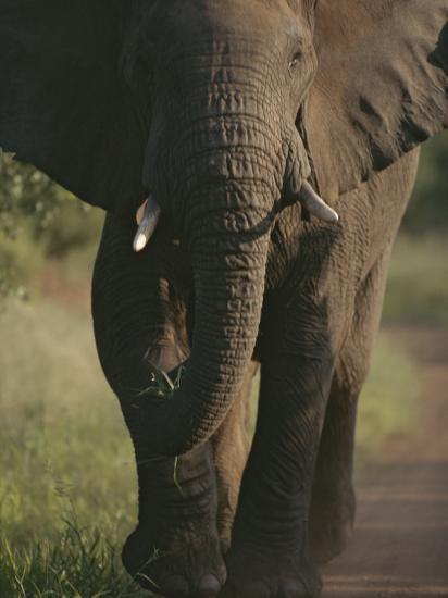 A Portrait of an African Elephant, Loxodonta Africana, Walking-Tim Laman-Photographic Print