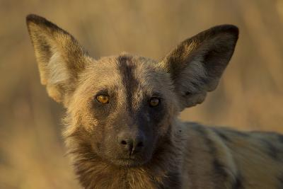 A Portrait of an African Wild Dog, Lycaon Pictus, at Sunset-Beverly Joubert-Photographic Print