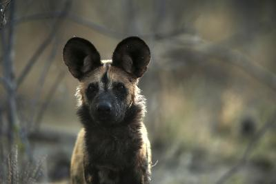A Portrait of an African Wild Dog, Lycaon Pictus-Beverly Joubert-Photographic Print