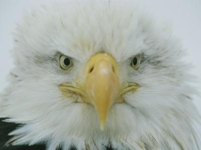 A Portrait of an American Bald Eagle-Klaus Nigge-Photographic Print