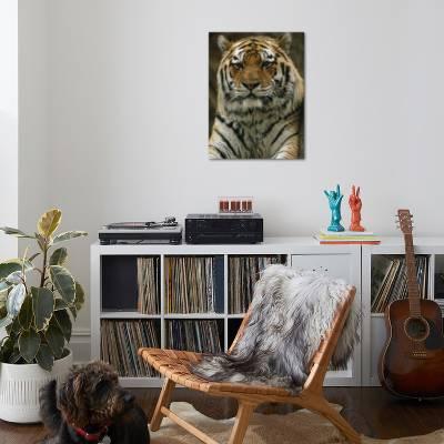 A Portrait Of Khuntami A Male Siberian Tiger Looking Regal