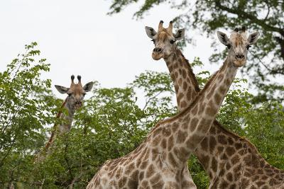A Portrait of Three Female Southern Giraffes, Giraffa Camelopardalis, Looking at the Camera-Sergio Pitamitz-Photographic Print