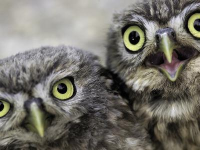 A Portrait of Two Little Owls, Athene Noctua-Kike Calvo-Photographic Print