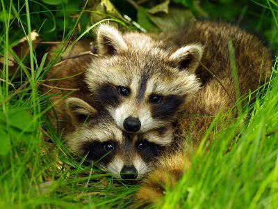 A Portrait of Two Raccoon Kits in Grass-Terri Moore-Photographic Print
