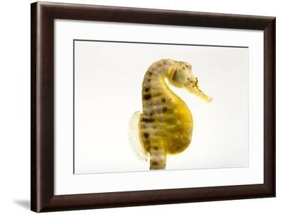 A Pot Bellied Seahorse, Hippocampus Abdominalis.-Joel Sartore-Framed Photographic Print