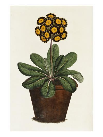 A Pot of Auricula French Print--Giclee Print