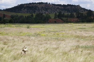 A Prairie Dog Stands Up in a Landscape of Prairie Grass-Stacy Gold-Photographic Print