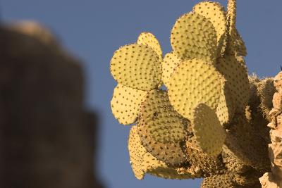 A Prickly Pear Cactus Grows in Santa Elena Canyon in Big Bend National Park, Texas-Phil Schermeister-Photographic Print