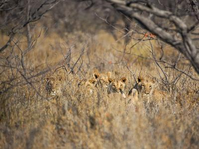 https://imgc.artprintimages.com/img/print/a-pride-of-lionesses-panthera-leo-resting-in-tall-grass-under-trees-at-sunrise_u-l-pu74wn0.jpg?p=0