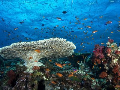 A Pristine Coral Reef Scene Off the Coast of Viti Levu Island-Mauricio Handler-Photographic Print