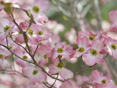 A Profusion of Pink Dogwood Blossoms-Amy & Al White & Petteway-Photographic Print