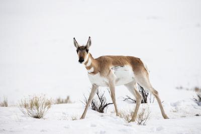 https://imgc.artprintimages.com/img/print/a-pronghorn-antelope-antilocapra-americana-walking-in-a-snowy-field_u-l-pokv400.jpg?p=0