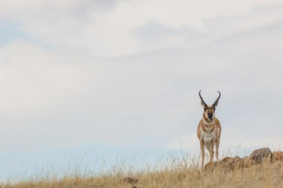 A Pronghorn Antelope Stands on a Grassy Hill Looking at the Camera-Tom Murphy-Photographic Print