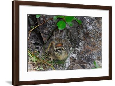 A Ptarmigan Chick, Lagopus Lagopus, in Summer Plumage Sitting in a Nest-Kike Calvo-Framed Photographic Print