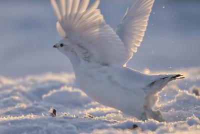 A Ptarmigan in its White Winter Plumage, Taking Flight-Peter Mather-Photographic Print