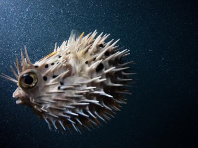 A Puffer Fish Inflates Itself to Protect Itself from Danger-Ben Horton-Photographic Print