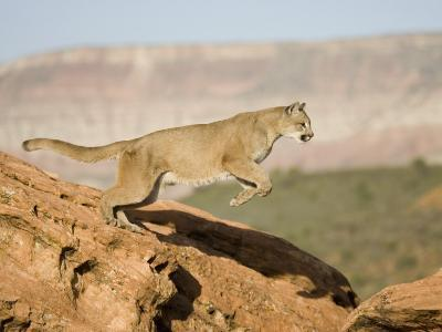 A Puma, Cougar or Mountain Lion, Running and Jumping, Felis Concolor, North America-Joe McDonald-Photographic Print