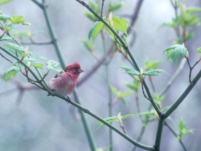 A Purple Finch, Carpodacus Purpureus, Perched in a Tree in Heavy Fog-Bates Littlehales-Photographic Print