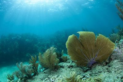 A Purple Sea Fan Sways in the Clear Blue Water of Looe Key Reef Off of Ramrod Key-James White-Photographic Print