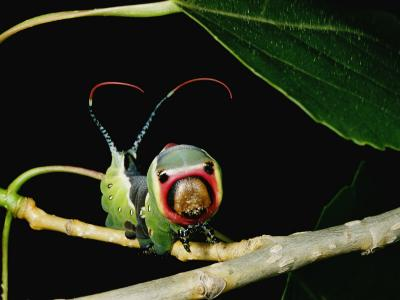 A Puss Moth Caterpillar on a Branch, Showing its False Face-Darlyne A^ Murawski-Photographic Print