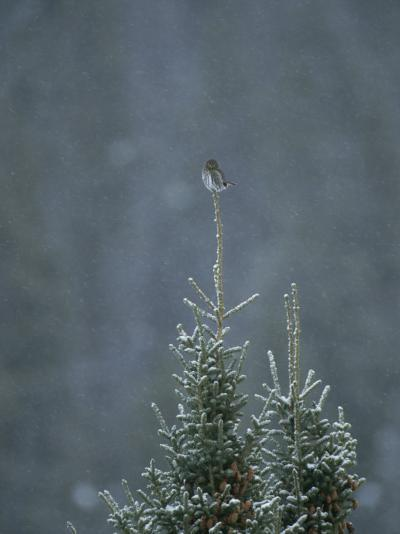 A Pygmy Owl Perched in the Top of an Evergreen Tree in a Snow Storm-Tom Murphy-Photographic Print