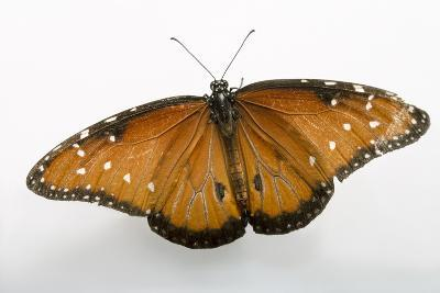 A Queen Butterfly, Danaus Gilippus, at the Minnesota Zoo-Joel Sartore-Photographic Print