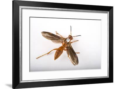 A Queen Paper Wasp, Polistes Perplexus.-Joel Sartore-Framed Photographic Print