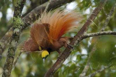 A Raggiana Bird of Paradise Performs a Display in the Kiburu Forest-Tim Laman-Photographic Print