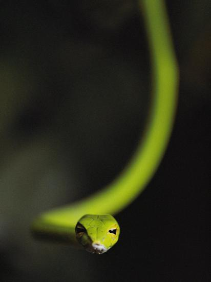 A Rain Forest Whip Snake-Mattias Klum-Photographic Print