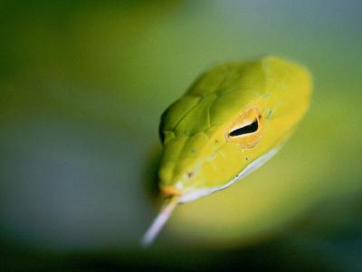A Rain Forest Whipsnake, Swimming with His Tongue Out-Mattias Klum-Photographic Print