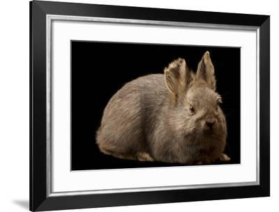 A Rare Female Columbia Basin Pygmy Rabbit, Brachylagus Idahoensis-Joel Sartore-Framed Photographic Print