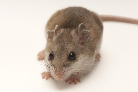 A Rare Male Alabama Beach Mouse, Peromyscus Polionotus Ammobates-Joel Sartore-Photographic Print
