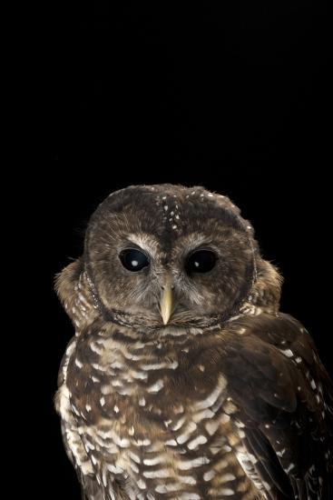 A Rare Northern Spotted Owl, Strix Occidentalis Caurina-Joel Sartore-Photographic Print