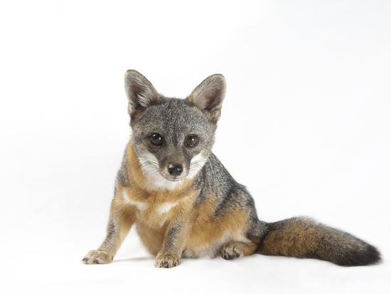 A Rare Santa Catalina Island Fox, Urocyon Littoralis Catalinae-Joel Sartore-Photographic Print