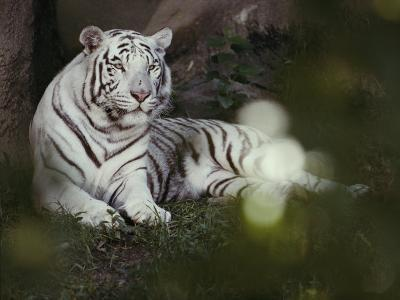 A Rare White Tiger at the Cincinnati Zoo-Michael Nichols-Photographic Print