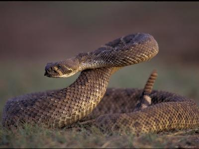 A Rattlesnake Coils up in a Threatening Manner-Joel Sartore-Photographic Print
